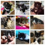 tuxedo kittens feature