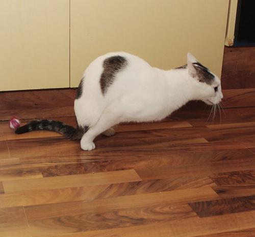 two-legged cat