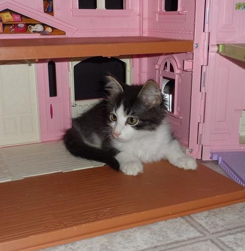 anakin two legged cat