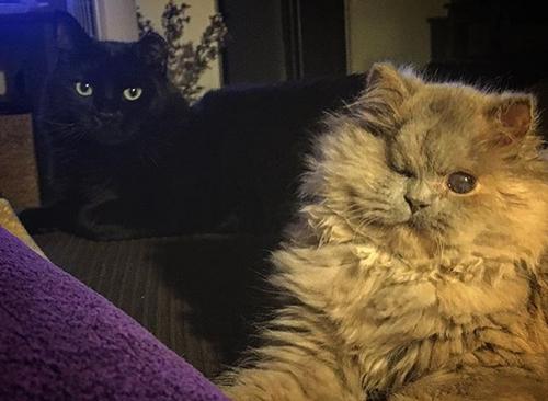 one eyed persian rescue kitten