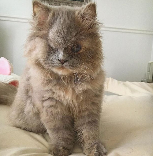one eyed persian rescue kitten