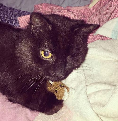 one eyed rescue munchkin cat