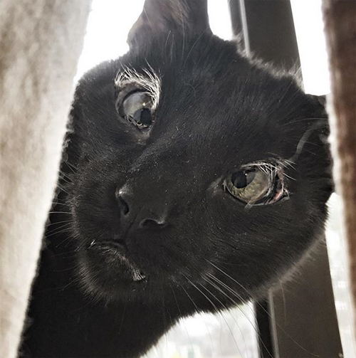 black cat with eyelid agenesis