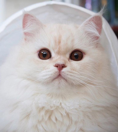 white persian cerebellar hypoplasia ch cat