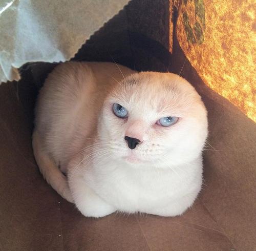 white earless senior cat
