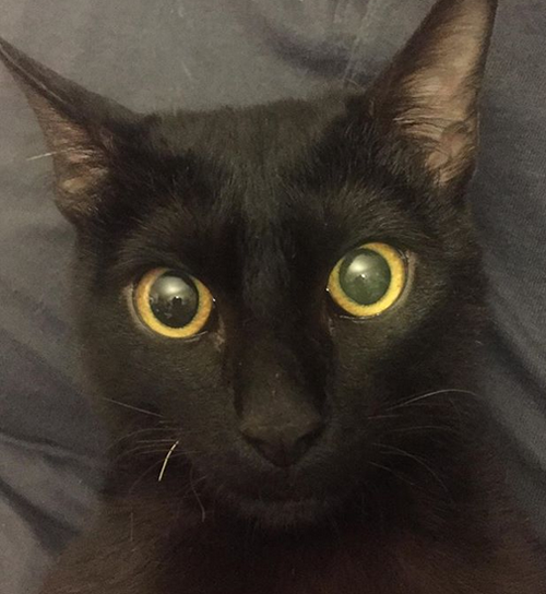 black cat with hind leg paralysis
