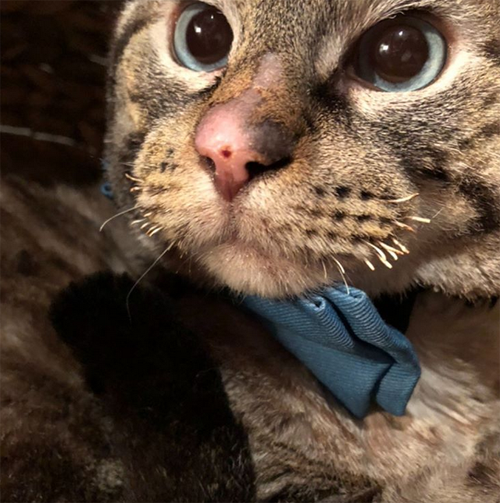 siamese cat rescued from fire