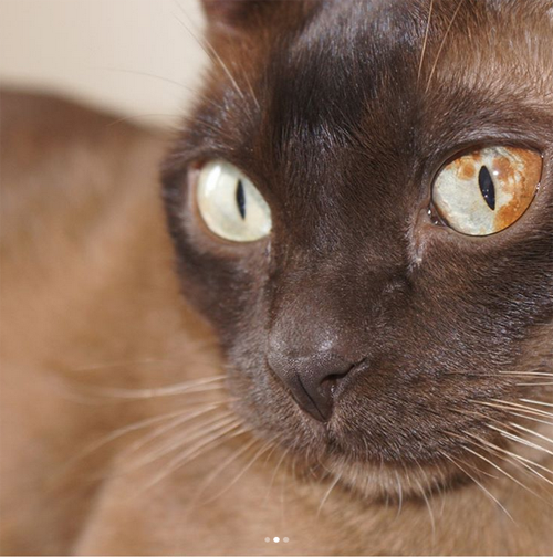 Meet The Stunning Cat Who Lost One Of His Eyes To Cancer And Is Trying To Save Lives By Raising Awareness About Feline Diffuse Iris Melanoma Meow As Fluff