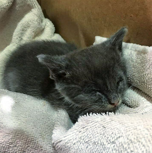 blind gray and white rescue cat with micropthalmia
