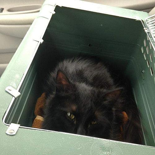 fluffy black rescue cat with cerebellar hypoplasia
